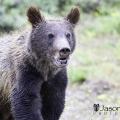 Jackson-hole-bear
